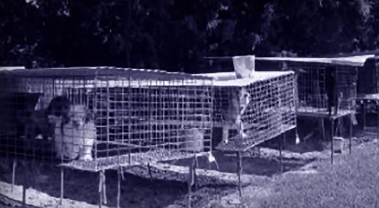 C~eas em jaulas numa puppy mill com más condições nos EUA