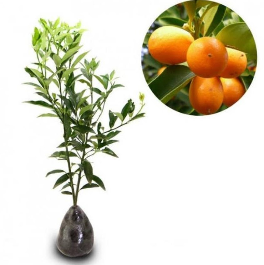 Bibit jeruk nagami belum berbunga Pontianak