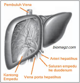 Gambar hati manusia dan keterangannya