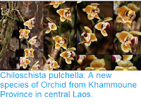 https://sciencythoughts.blogspot.com/2018/12/chiloschista-pulchella-new-species-of.html