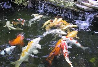 Cara Memelihara Ikan Koi Di Kolam Rumah Untuk Pemula