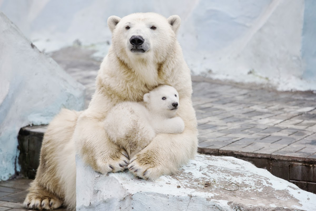 Polar Bear Cub Nestled With Mother Will Fill Your Heart With Warm, Fuzzy Feelings