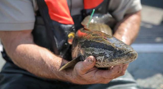 Cara Memancing Ikan Gabus di Rawa atau Area Sawah