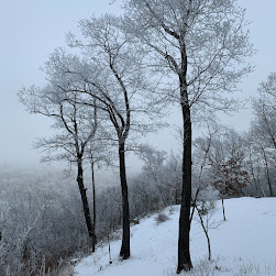 Three tall trees covered in frost on a snowy hill. The sky is foggy.