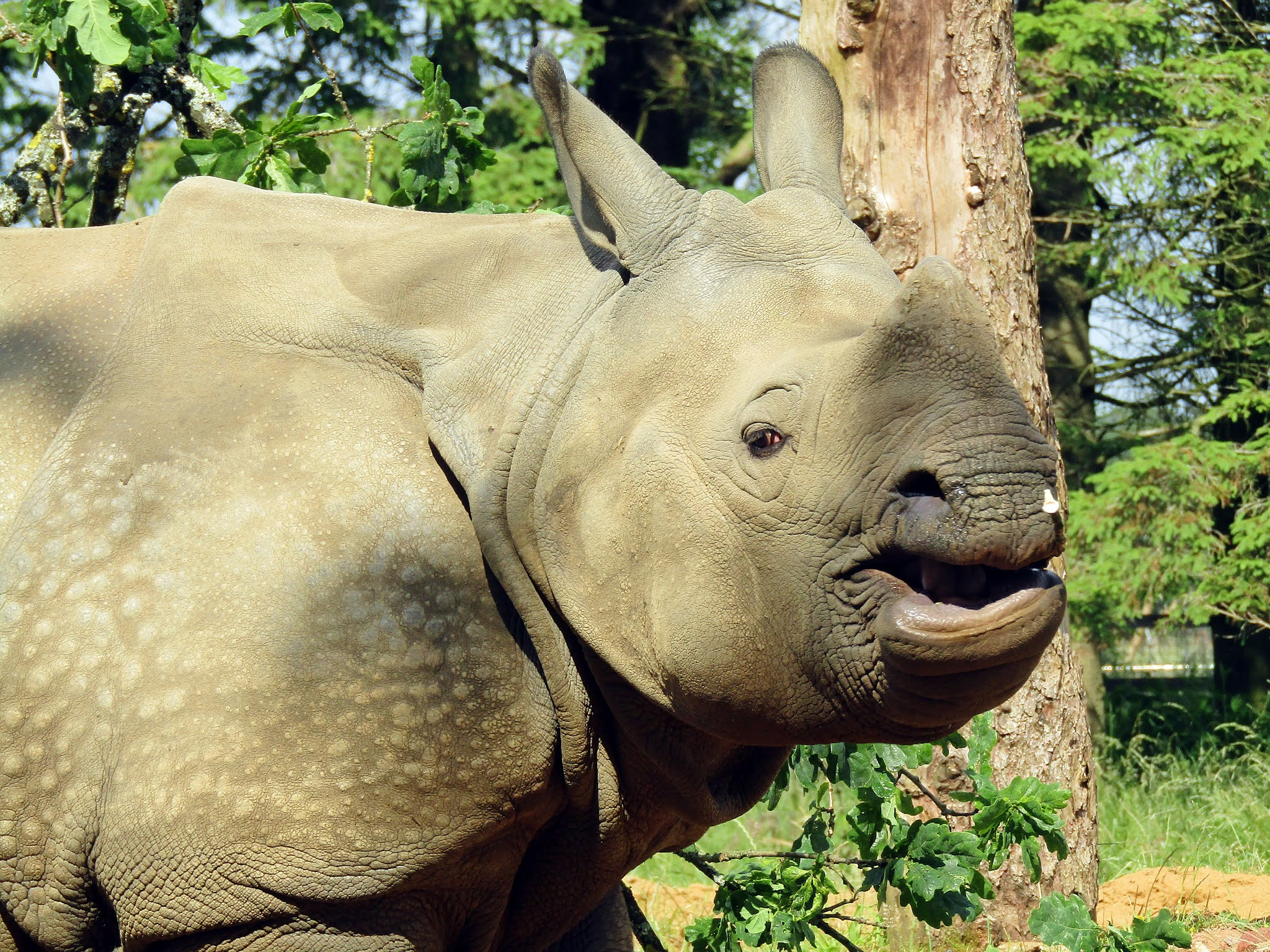 A photo of a greater one-horned rhino at Whipsnade Zoo.