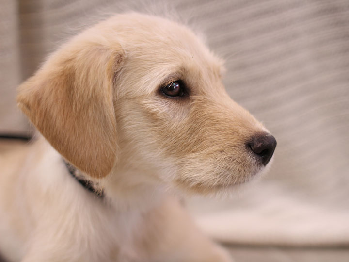 yellow lab mix puppies - photo #10