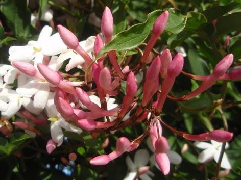 Capullos y flores de jazmín (jasminum officinale)