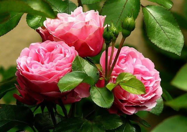 Cara Menanam,  Merawat dan Mengendalikan Hama Penyakit Pada Bunga Mawar Agar Rajin Berbunga