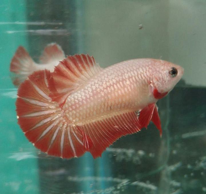 Kriteria Ikan Cupang Hias Kontes Pecinta Ikan Cupang