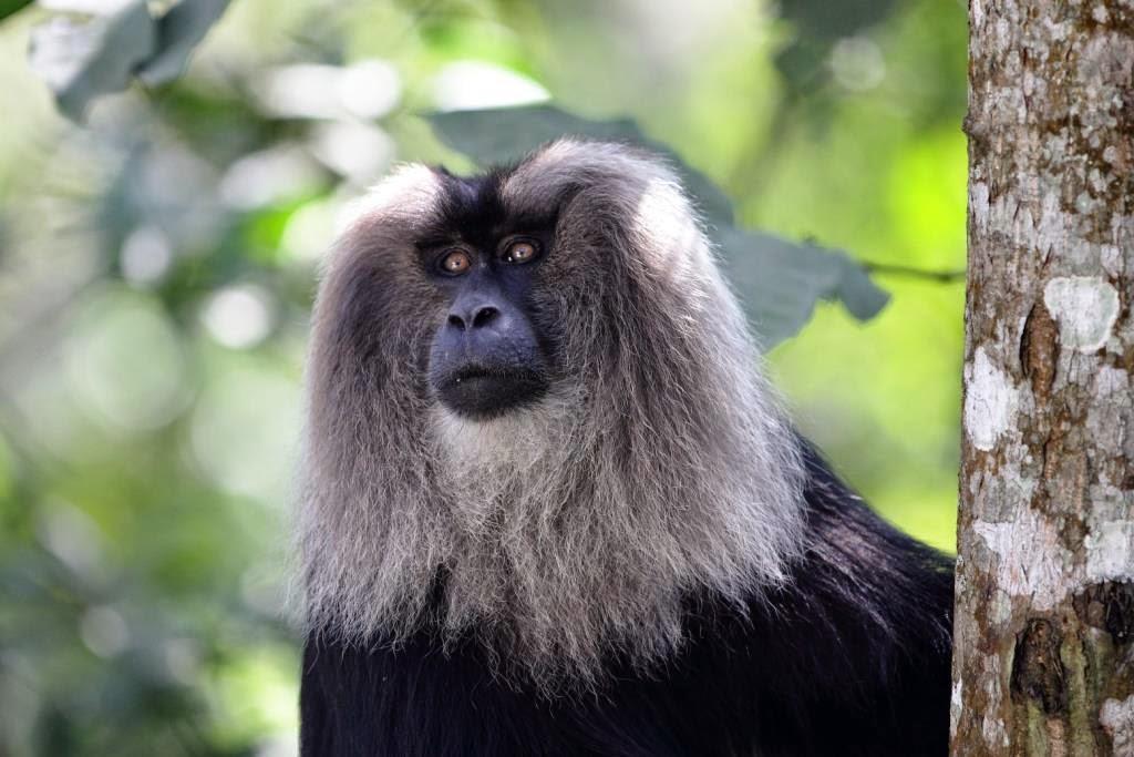 macaque à tête de lion inde du sud