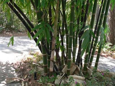 spesies bambu di dunia indonesia