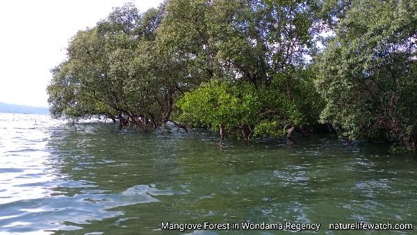 Mangrove forest in Wondama regency