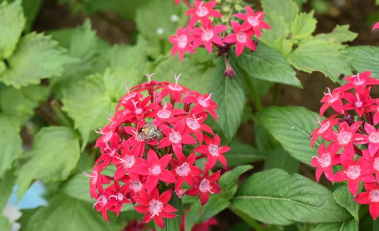 Pentas 'Butterfly Deep Rose'とカメムシ