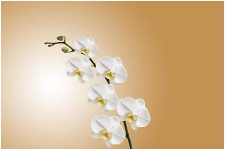 orquídea phalaenopsis branca