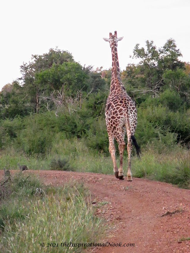 Giraffe, safari, Mosetlha Bush Camp, Madikwe Game Reserve, South Africa
