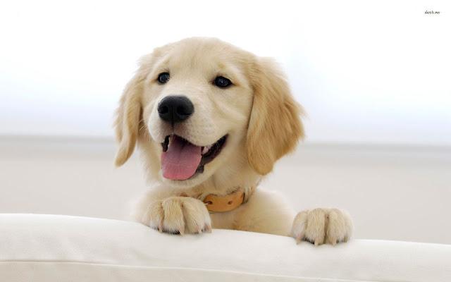 desktop puppy wallpaper