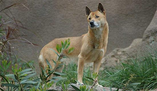 Cão Cantor da Nova Guiné