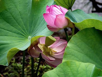 Sacred lotus flowers: Kaizo-ji