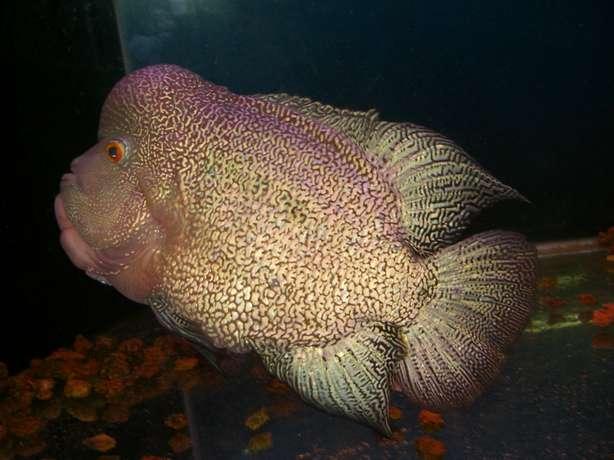 Flowerhorn The Hybrid Cichlids: 11/28/11