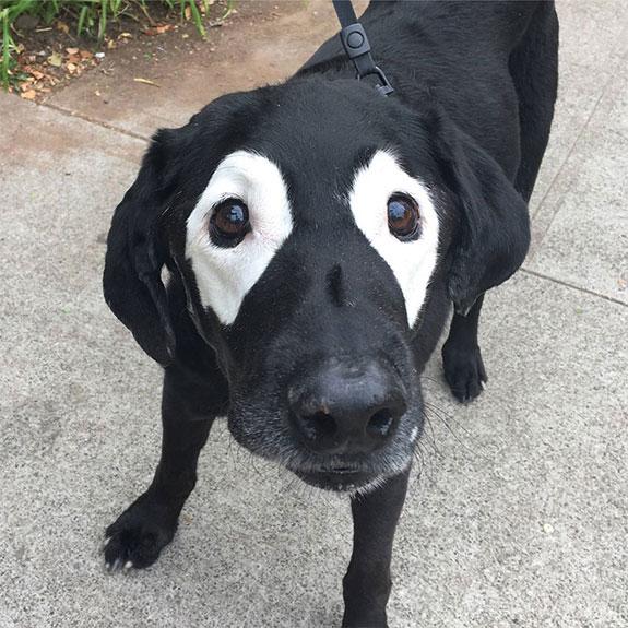 Rowdy-Perro Labrador con vitiligo