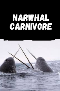 narwhal carnivore