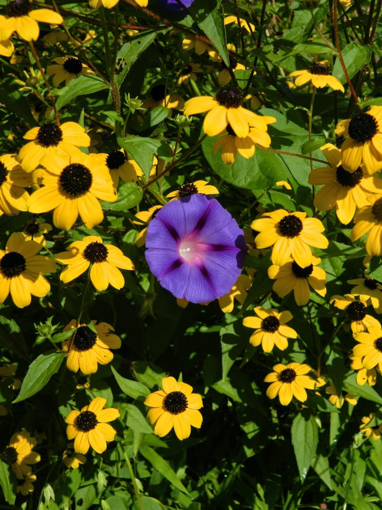 Morning glory rudbeckia by garden muses-not another Toronto gardening blog