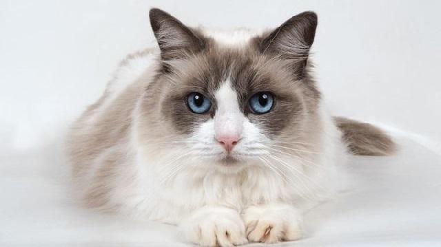 Ciri-Ciri Kucing Ragdoll