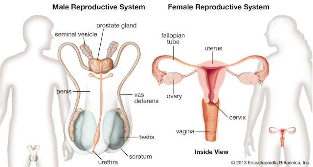 Gambar  . Sistem Reproduksi pada Manusia