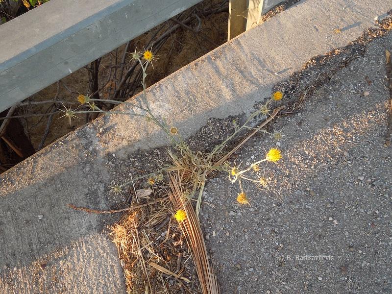 Star Thistle on Bridge, © B. Radisavljevic