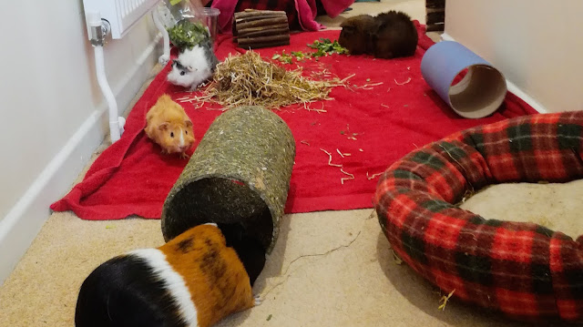 Our four guinea pigs