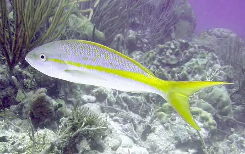jenis Ikan Kakap Ekor Kuning