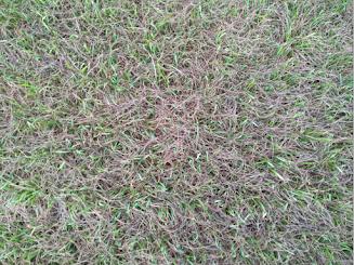 New growth coming through sun-damaged grass