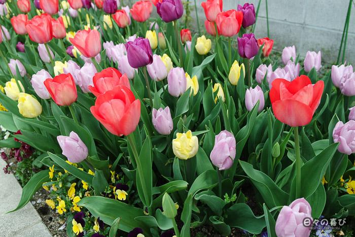 tulipes multicolores, gare Ryoan-ji, Kyoto