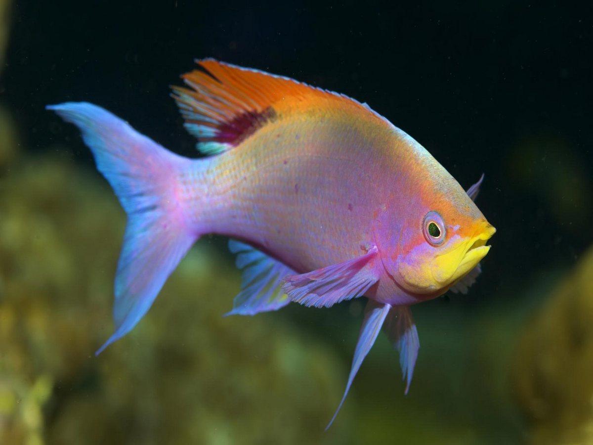 Per l 39 acquario un bellissimo e colorato pelvicachromis for Pesci acqua dolce fredda laghetto