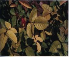 Gambar Defisiensi besi pada daun bunga rose
