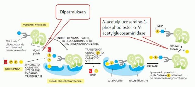 Proses Penandaan Enzim Hidrolase di Permukaan Cis Golgi