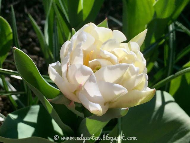 Blühende Tulpe