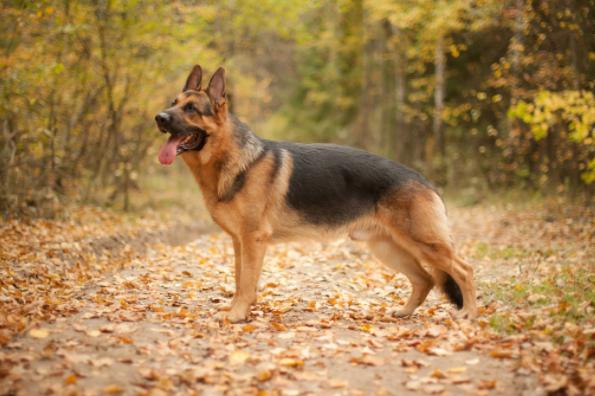ORIGINAL BREED | German Shepherd Puppy Price in Ambala