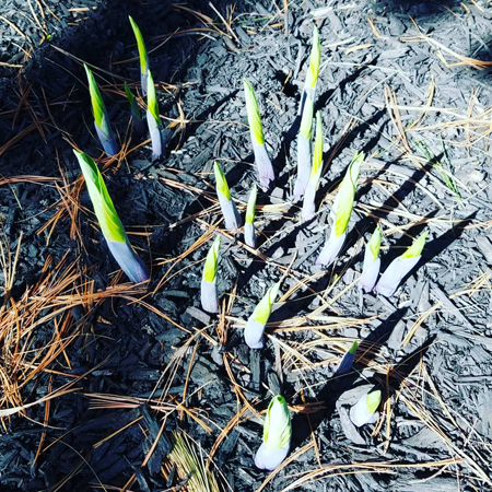 image of green and purple hosta shoots pushing up through the earth