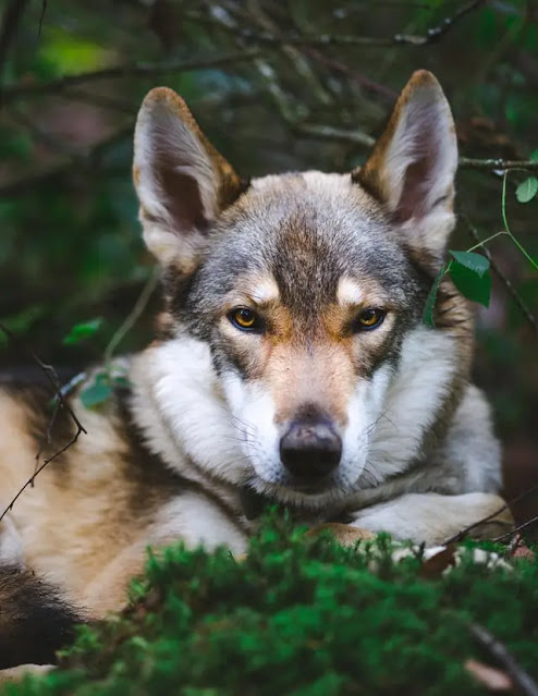 tamaskan dog tamaskan tamaskan puppies tamaskan puppies for sale tamaskan husky tamaskan wolf dog tamaskan dog price tamaskan dog for sale black tamaskan tamaskan price tamaskan for sale tamaskan temperament tamaskan adoption tamaskan black the tamaskan blustag tamaskan tamaskan puppies for adoption tamaskan dog breed sylvaen tamaskan husky tamaskan black tamaskan dog tamaskan breeder tamaskan dog temperament tamaskan dog puppies tamaskan dog size tamaskan wolf hawthorne tamaskan white tamaskan the tamaskan dog tamaskan wolfdog for sale