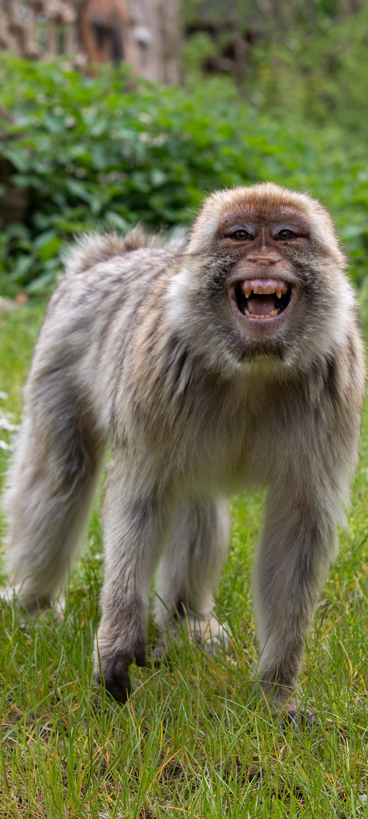 A barbary macaque clearly amused.