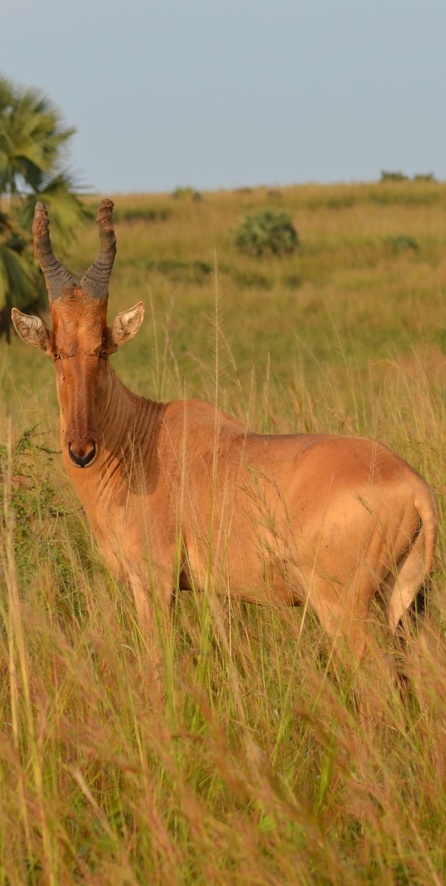 The unusual faced Jackson's hartebeest.