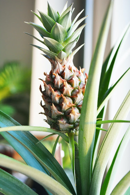 a fresh pineapple growing on tree