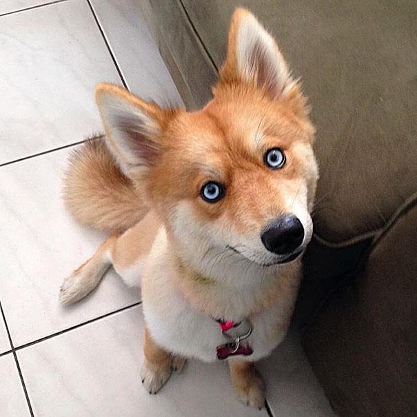 Este Cão Parece Uma Raposa Mas é O Cruzamento Da Raças Lulu