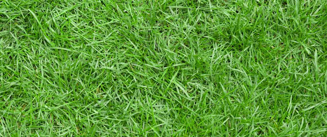 rumput jepang atau zoysia