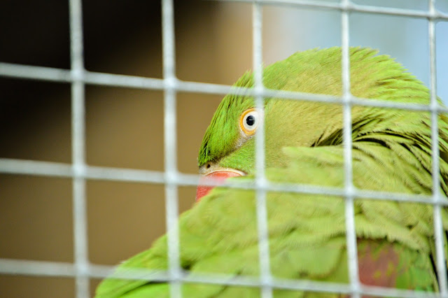 Close Up Image taken at Tattershall Farm Park of a bright green parrot in an enclosure