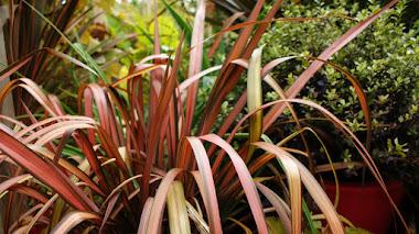Phormium (Lino de Nueva Zelanda), plantas estructurales que proporcionan color en las cuatro estaciones
