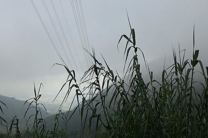 Dlium Tall reed (Phragmites karka)