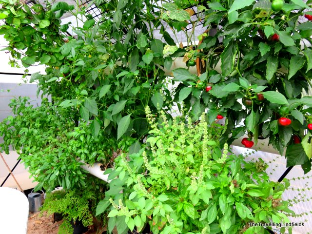 Fresh herbs and vegetables, ready to pick.