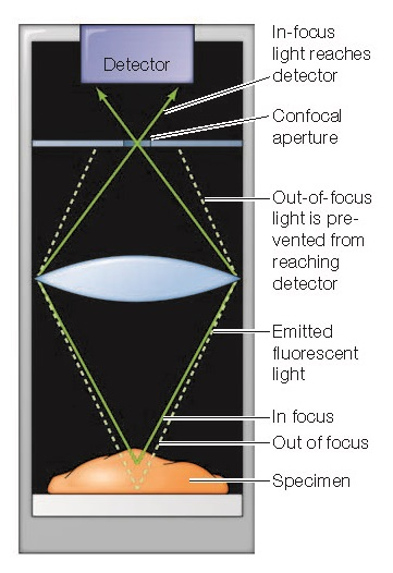 Confocal microscopy A pinpoint of light is focused on the specimen at a particular depth